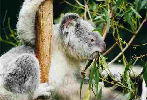 800px_koala_ag1.jpg - 10,94 kB